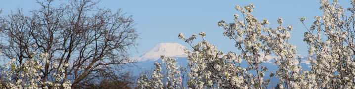 spring trees and mt shasta